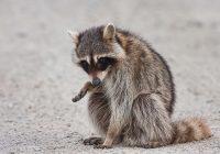 Injured Raccoon