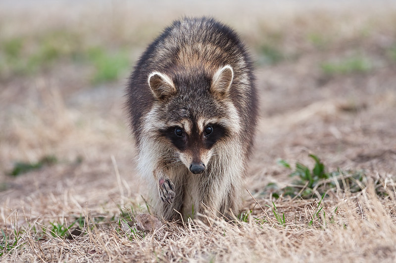 Raccoon With Injury