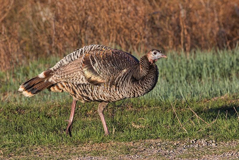 Wild Turkey Hen