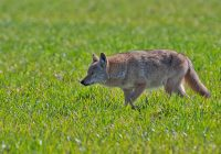 Coyote Searching Field
