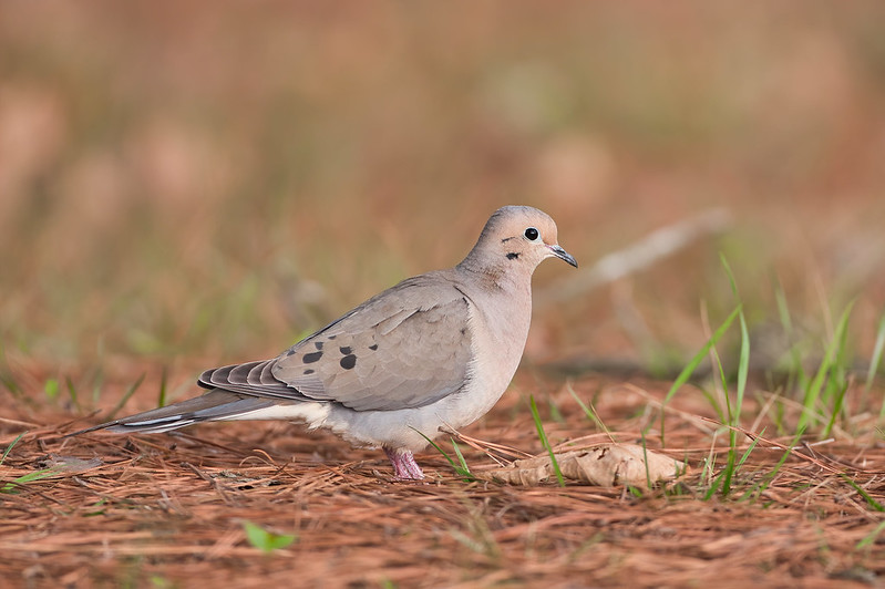 Mourning Dove Walking Through Pine Needles