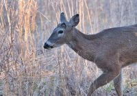 Whitetail Buck Missing Antlers