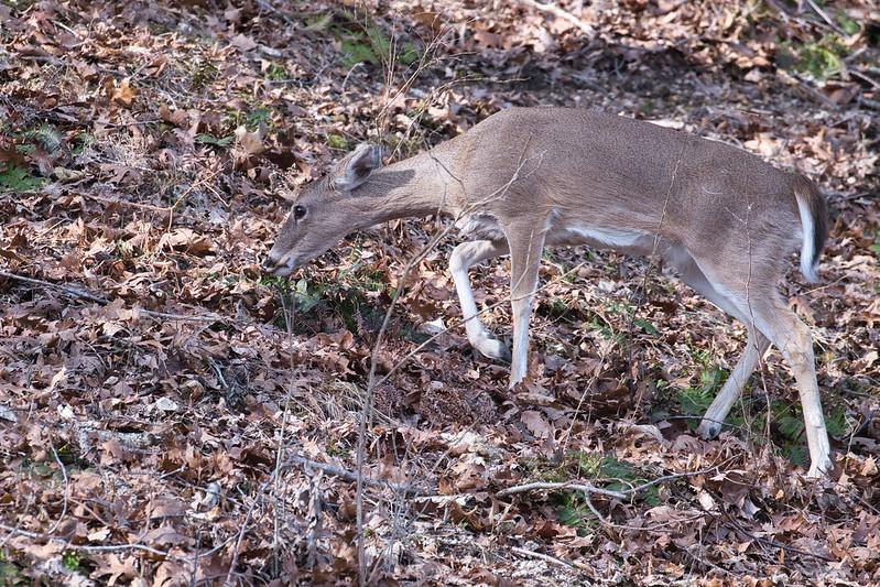 Whitetail Doe Feeding On Ridge