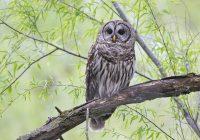 Barred Owl Up Close