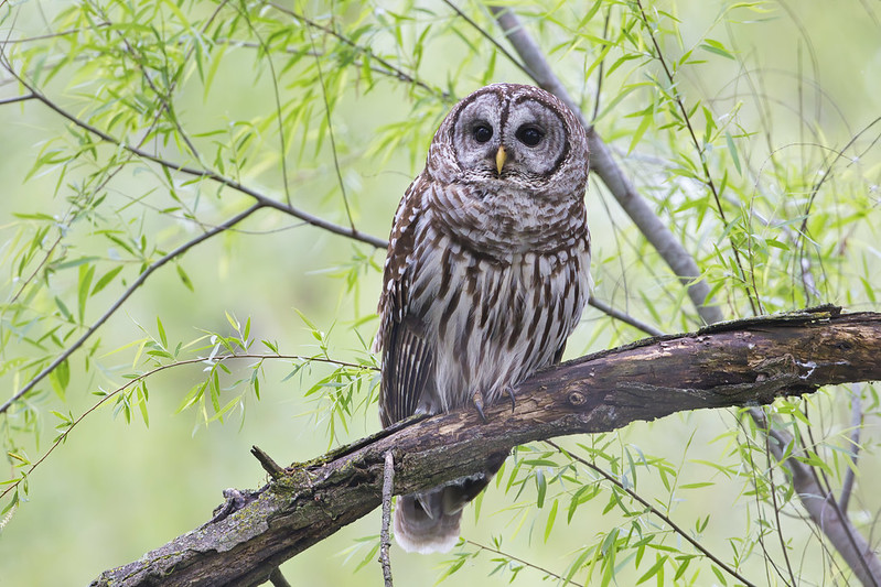 Barred Owl Up Close