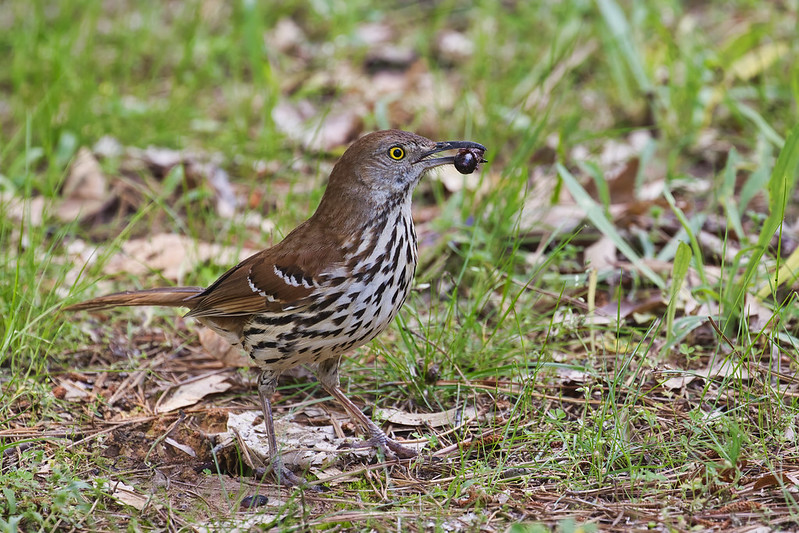 Brown Thrasher With Beetle