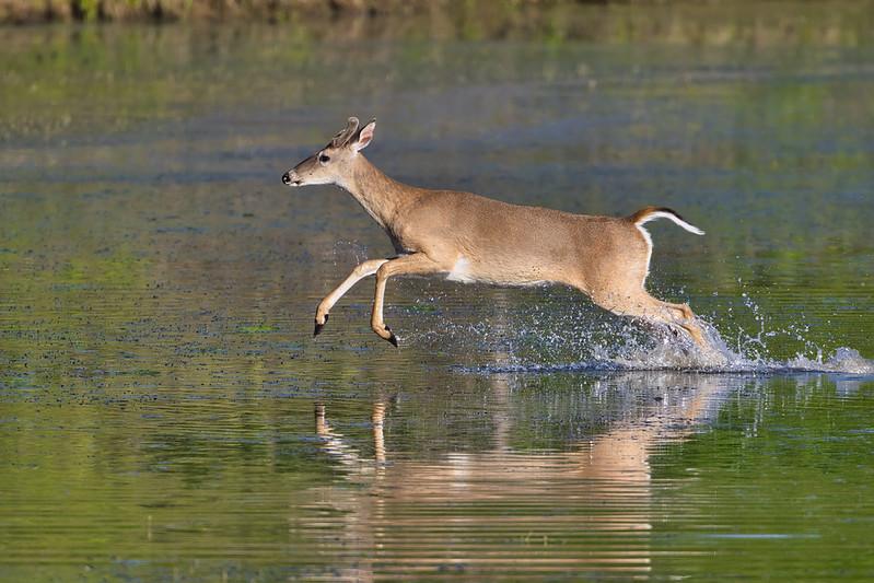 Buck Running Through Water