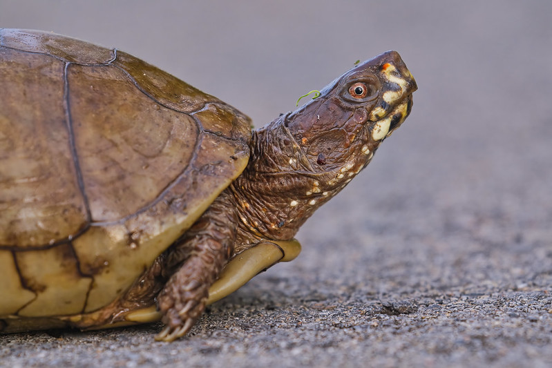 Early Spring Box Turtle