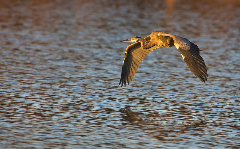 Great Blue Heron Over Charleston City Lake