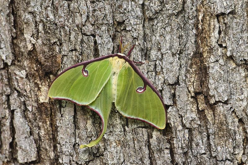 Luna Moth Missing Hind Wing