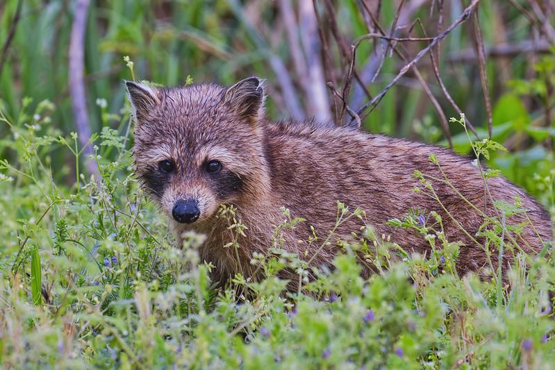 Maybe Another Cinnamon Raccoon
