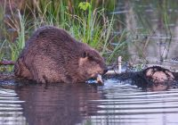 North American Beaver Feeding
