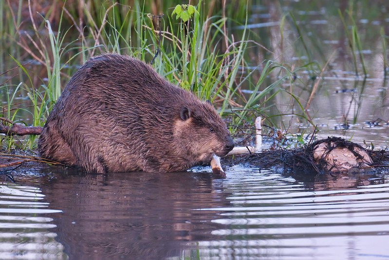North American Beaver Feeding