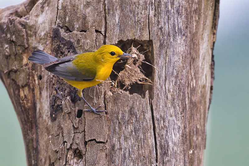 Prothonotary Warbler Building Nest