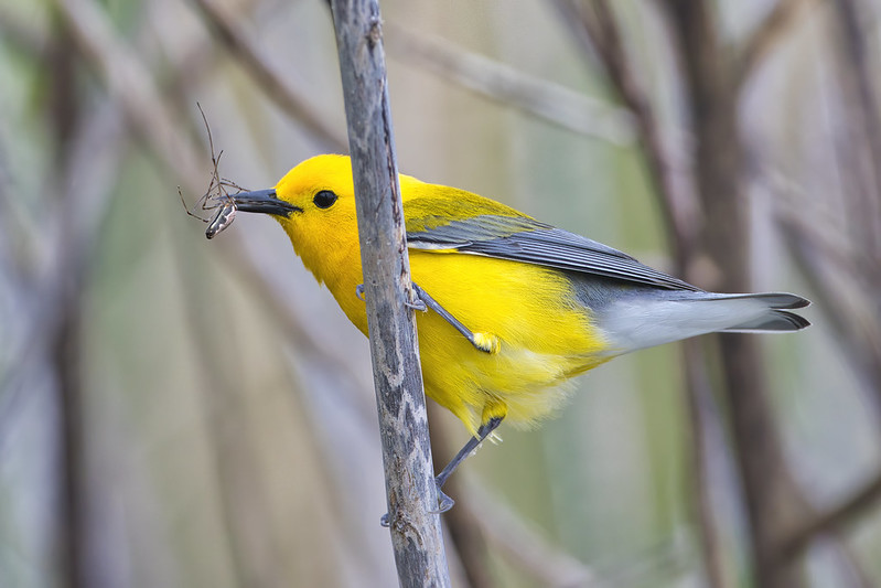 Prothonotary Warbler With Spider