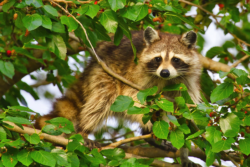 Raccoon In A Mulberry Tree