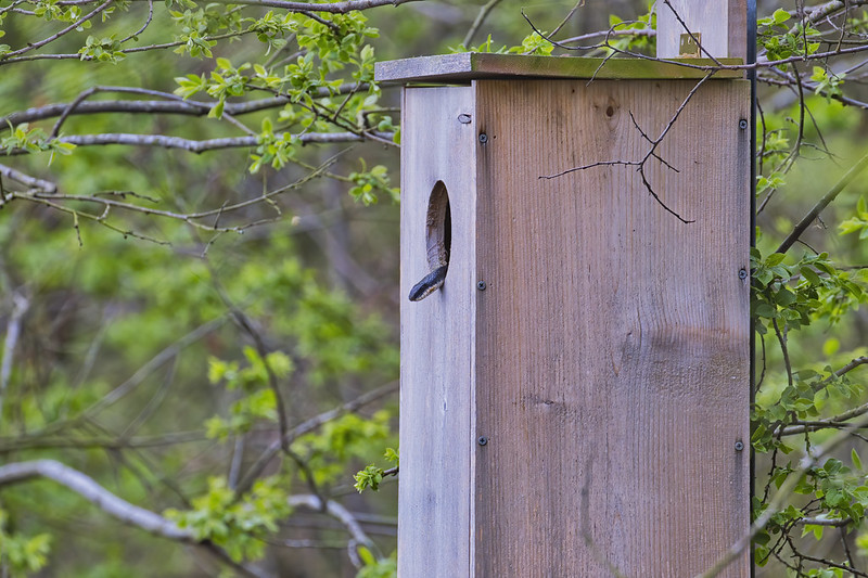 Ratsnake Inside Duck Nesting Box