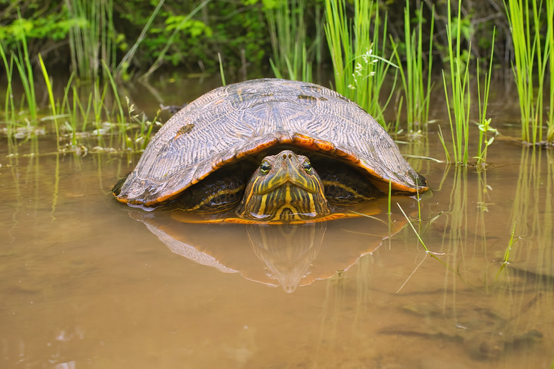 Red eared Slider In A Pool Of Water