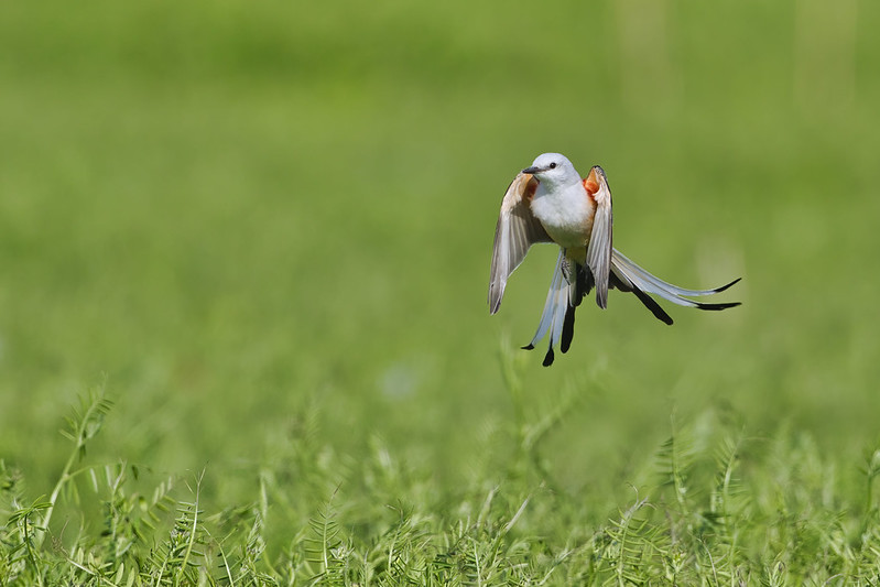Scissor-tailed Flycatcher Hovering