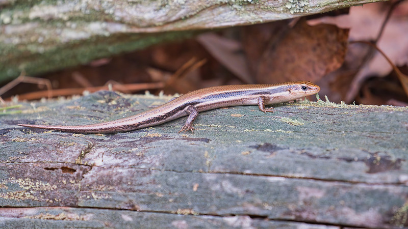 Southern Coal Skink Side View