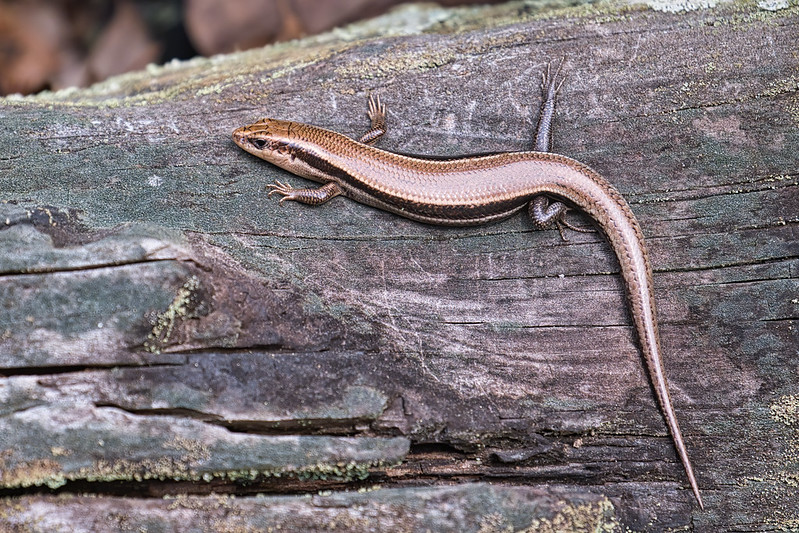 Southern Coal Skink Top View