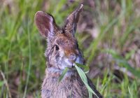 Swamp Rabbit Eating