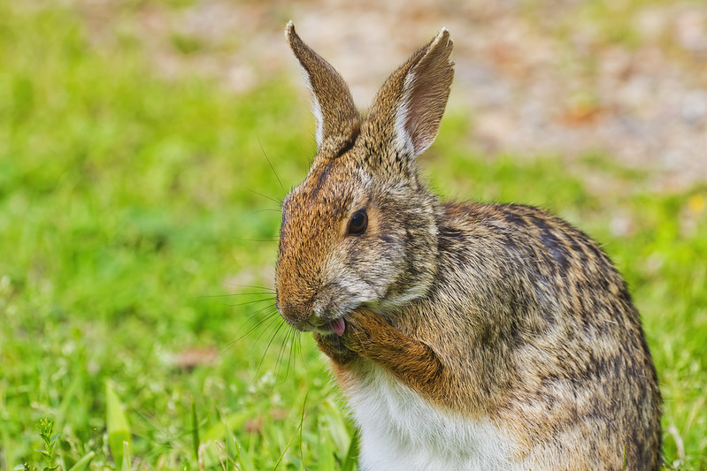 Swamp Rabbit Washing Face