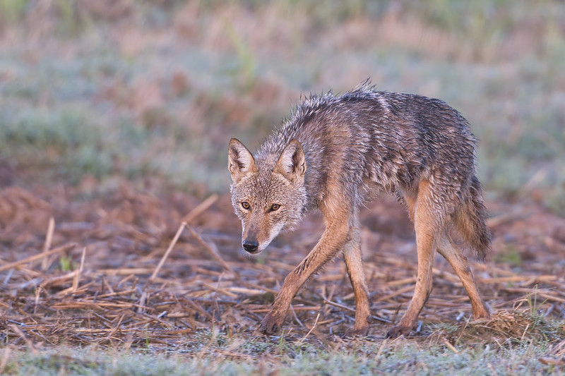 Coyote Slinking By