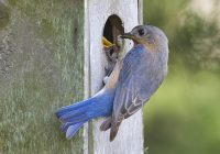 Eastern Bluebird Feeding Caterpillar To Young