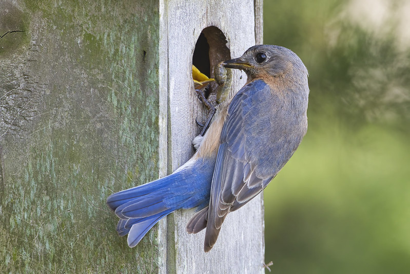 Eastern Bluebird Feeding Caterpillar To Young
