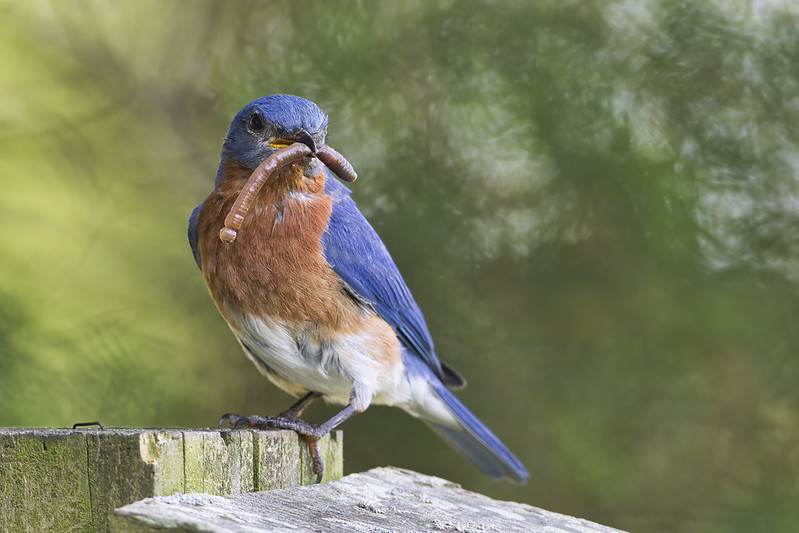 Eastern Bluebird With Earthworm