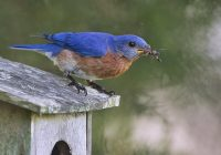 Eastern Bluebird With A Wasp and Spider
