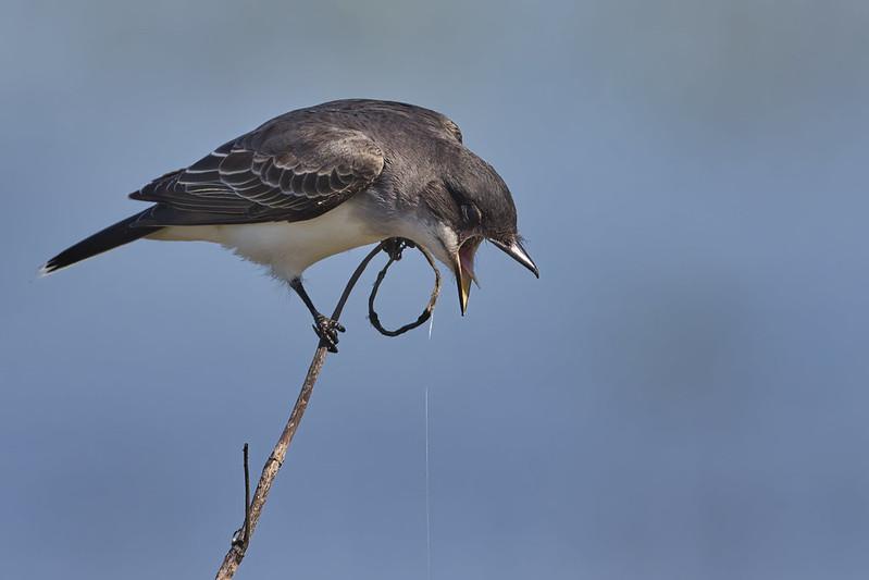 Eastern Kingbird Regurgitating