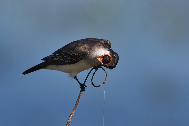 Eastern Kingbird With Pellet