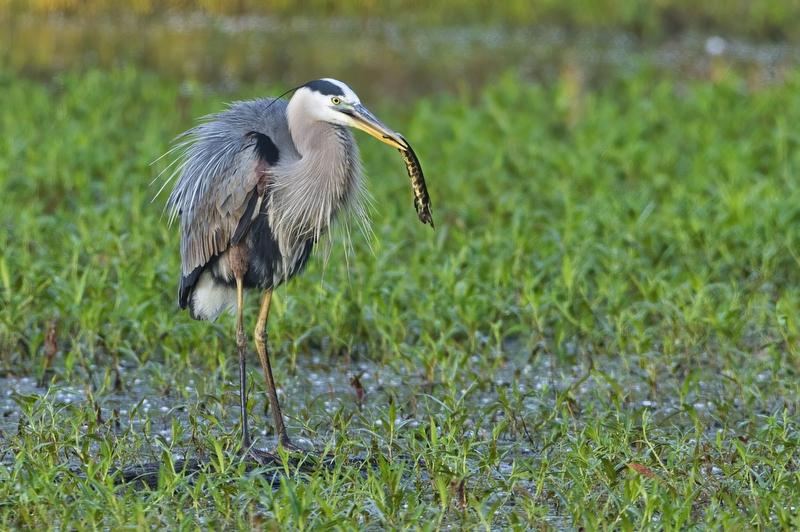 Great Blue Heron With Gar #2