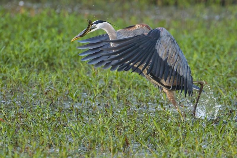 Great Blue Heron Walking With Gar