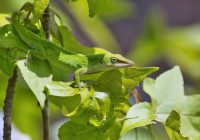 Green Anole In Tree
