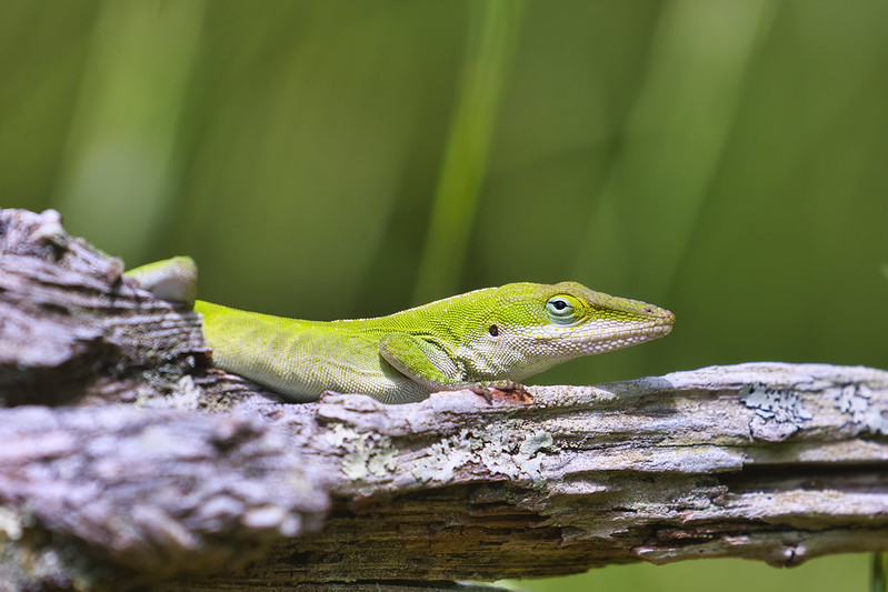 Green Anole On Dead Log