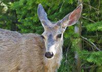 Mule Deer Buck Growing Antlers
