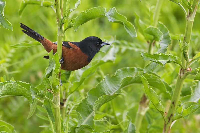 Orchard Oriole Searching For Food