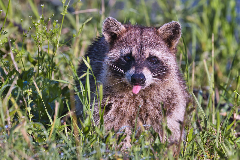 Raccoon Sticking Tongue Out