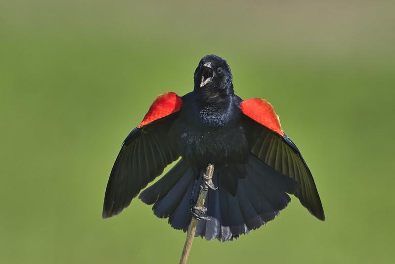 Red winged Blackbird Display