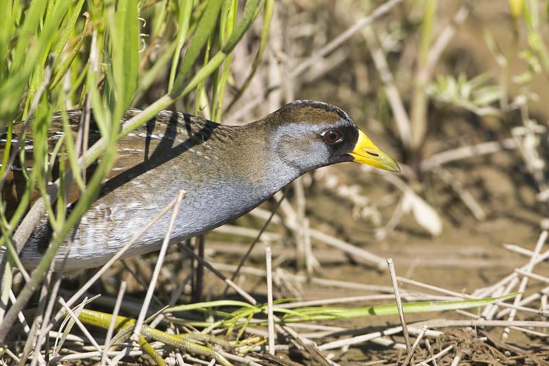 Sora Bird