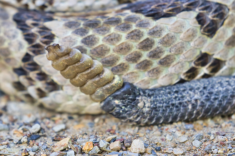 Timber Rattlesnake Rattles