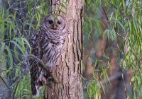 Adult Barred Owl