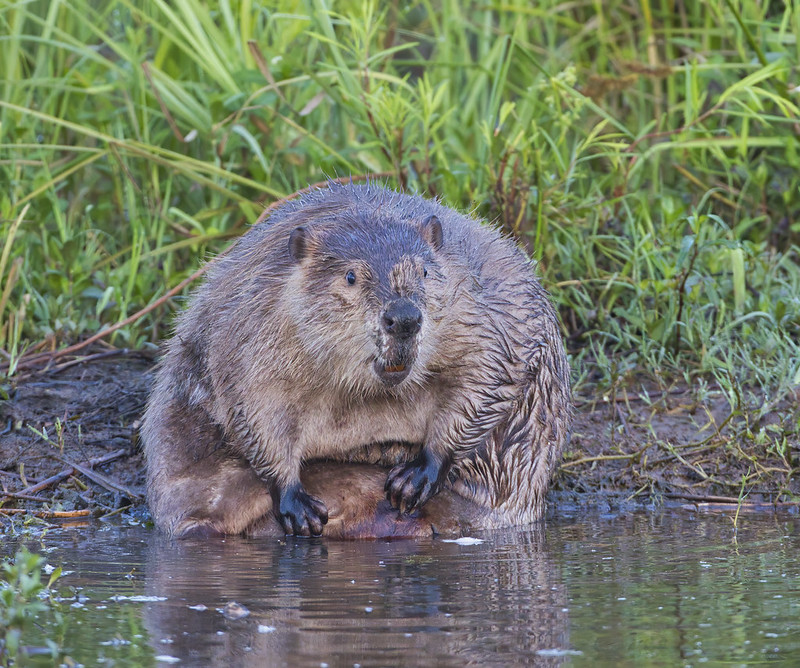 Beaver Bathing Photo #1