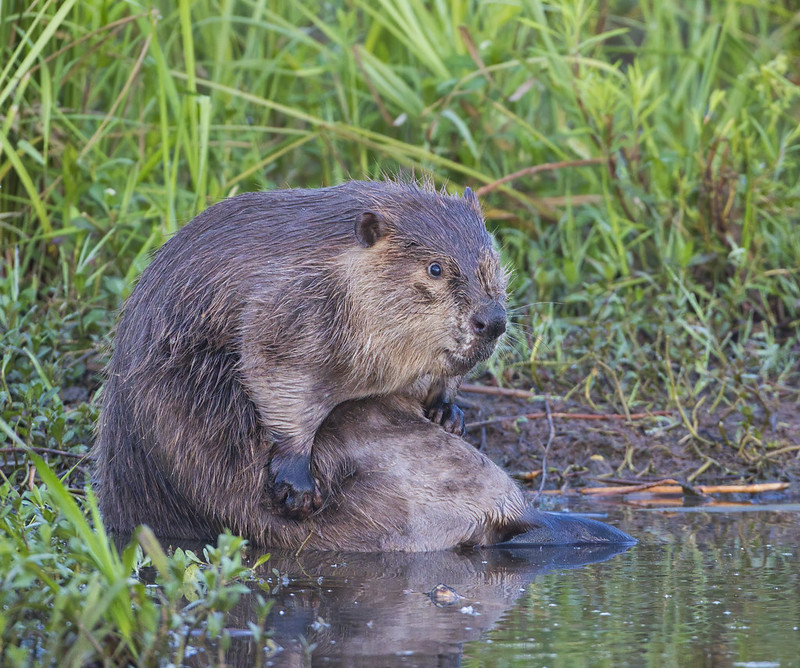 Beaver Bathing Photo #2
