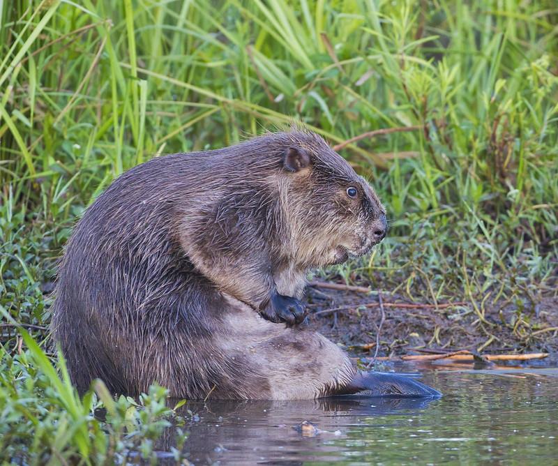 Beaver Bathing Photo #3