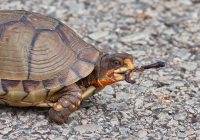 Box Turtle With Earthworm