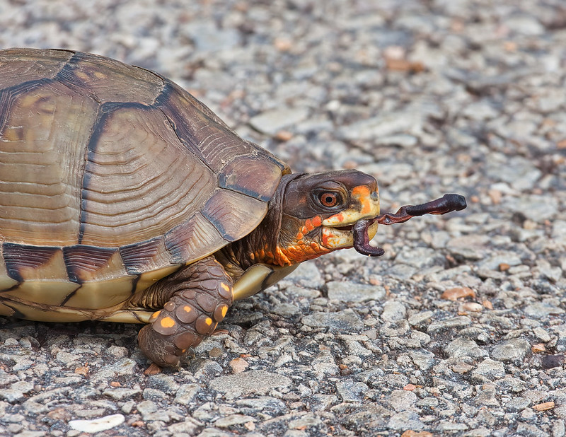 Box Turtle With Earthworm